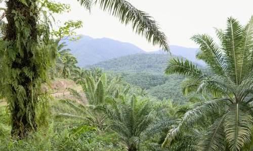 20081119 BORNEO Neste Oil Oyj. Palmuöljyplantaasi Sabahin maakunnassa. Kuva: Ismo Henttonen.