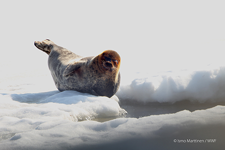 Metso tukemaan WWF:n saimaannorpan suojelua